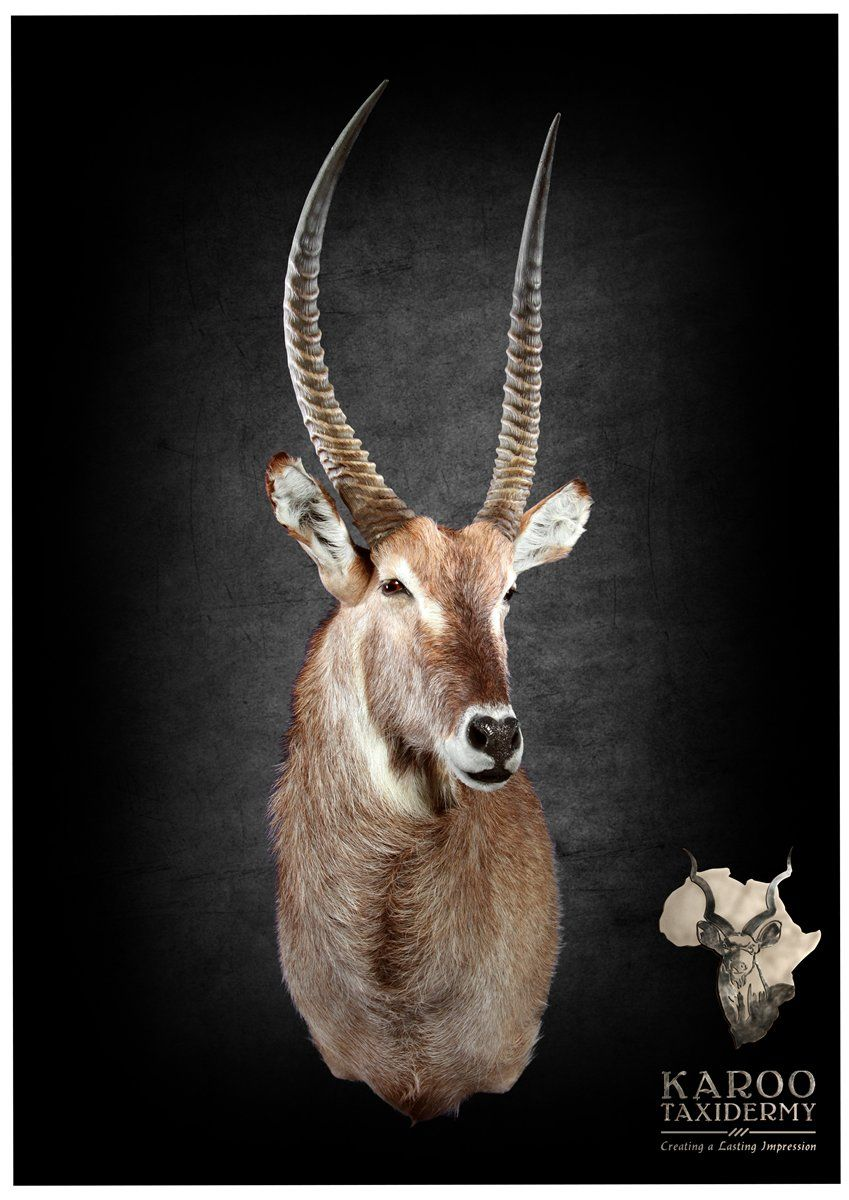 Waterbuck Mounts